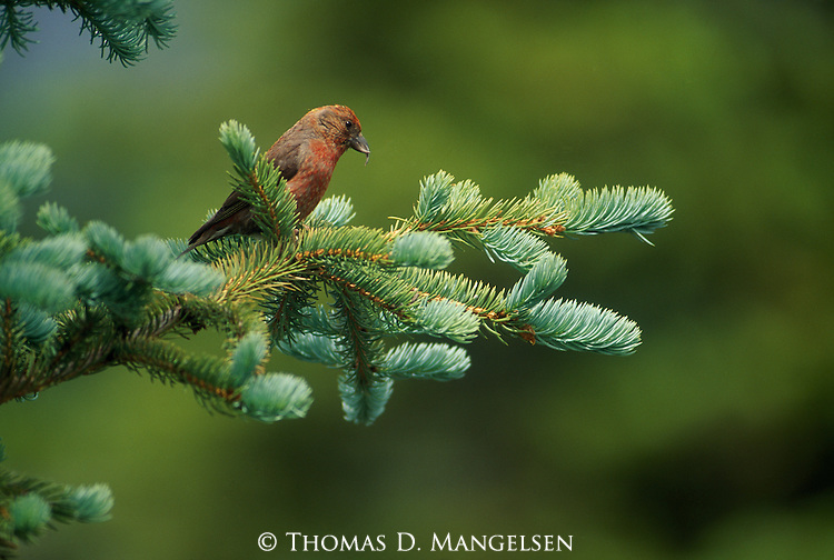 Portrait of red crossbill