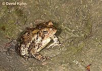 0304-0918  American Toad, © David Kuhn/Dwight Kuhn Photography, Anaxyrus americanus, formerly Bufo americanus