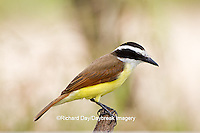 01246-00401 Great Kiskadee (Pitangus sulphuratus) hunting from perch Starr Co., TX