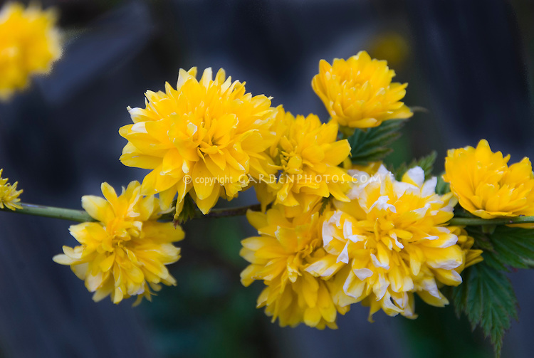Kerria japonica Flore Pleno double yellow gold spring blooming flowers in spring