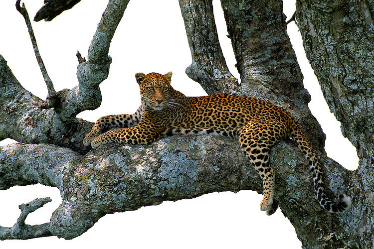 """Myriad shades of sapphire, aquamarine, and brilliant green lichens play off the jewel-like eyes of a leopard, who spends afternoons taking refuge in her favorite """"sausage"""" tree."""