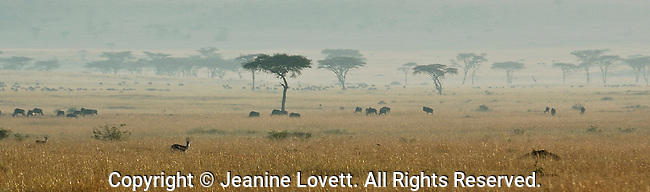 Panoramic of the African savannah showcasing acacia trees and herds of animals on a hazy day.