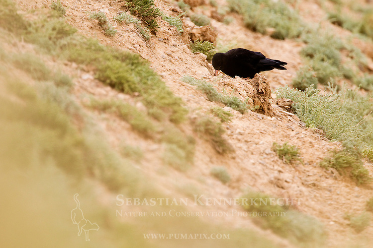 Alpine Chough (Pyrrhocorax graculus) foraging, Pikertyk, Tien Shan Mountains, eastern Kyrgyzstan