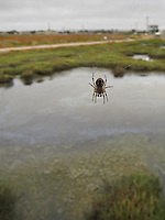Urban wildlife comes in many forms including eight-legged.  This spider was hanging out at the visitor's center at the Hayward Shoreline Interpretive Center on San Francisco Bay.