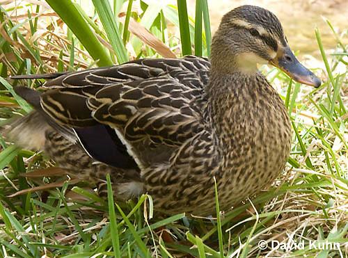 0217-1203  Female Mallard Duck, Anas platyrhynchos  © David Kuhn/Dwight Kuhn Photography