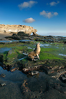 A bull sea lion begins a new day on the island of Santiago in the Galápagos islands framed by the beautiful black sand beach and Striated lava rocks at Puerto Egas.