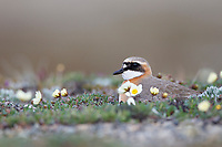 Male Lesser Sand Plover (Charadrius mongolus) incubating its eggs. Chukotka, Russia. June.