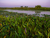 Pink early morning light colors Crooked Slough and Pickerelweed at Springbrook Prarie in DuPage County, Illinois