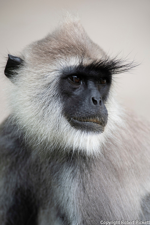 Tufted Gray Langur, Semnopithecus priam, close up of face, portrait, Kumana Ramsar Wetland Cluster, Sri Lanka