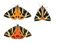72.030 (2067)<br /> Jersey Tiger - Euplagia quadripunctaria