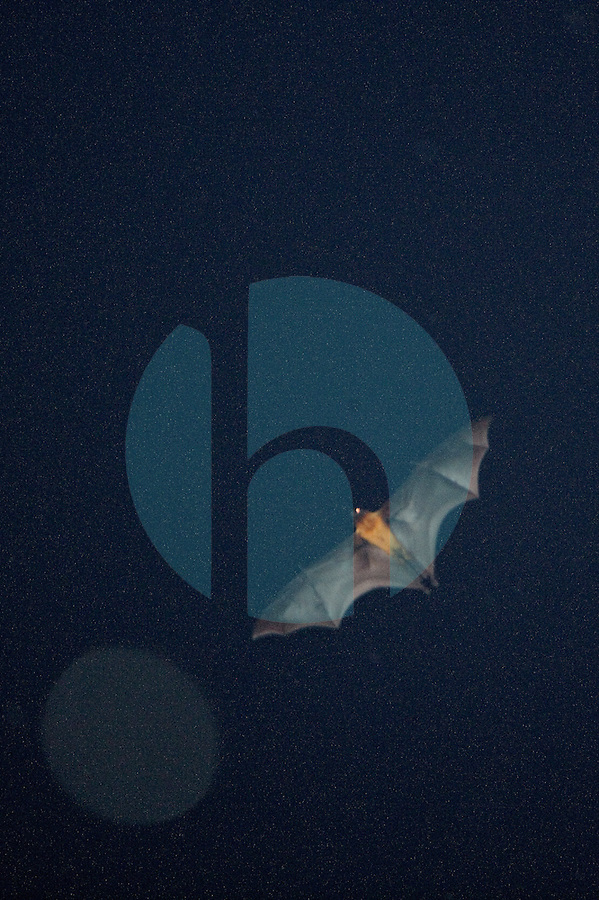 20080130_Periyar, India_ One of thousands of bats flies through the night sky, near the Periyar Wildlife Sancuary in the Southern Indian state of Kerala. Photographer: Daniel J. Groshong/Tayo Photo Group