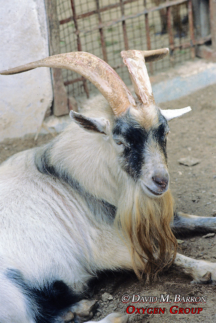 Bearder Goat