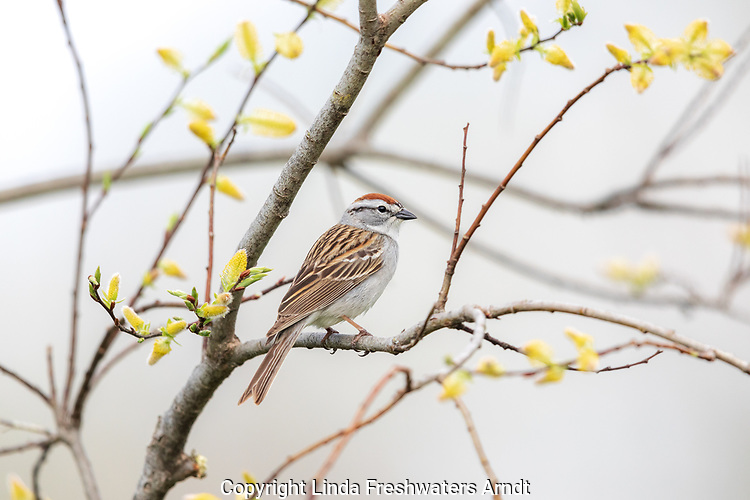 Chipping sparrow perched in a willow in northern Wisconsin.