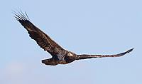 An immature Bald Eagle soars over Boundary Bay.