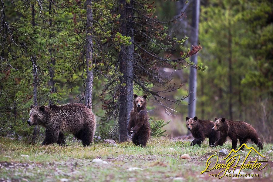 Grizzly Bears, this is Blondie and her three cubs who roam Grand Teton National Park