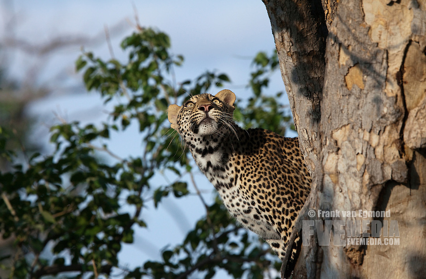 African Leopard (Panthera pardus pardus). Endangered species. Near Threatened.  Population.  ecreasing...Something caught the attention of this leopard as it gazed motionlessly into the higher branches of the tree...Mashatu Game Reserve. Tuli Block, Botswana.