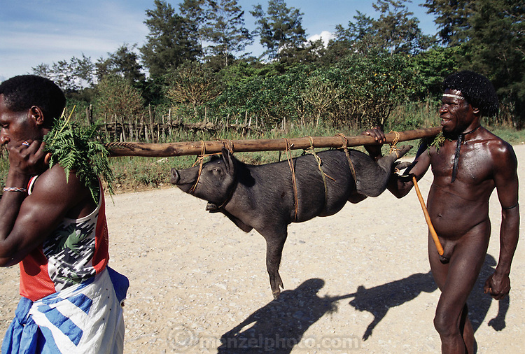Two men carry a pig to market in Jiwika, Irian Jaya, Indonesia. One man is wearing a traditional penis gourd and his friend is dressed in Western sports attire. Jiwika is in the Central Highlands of Irian Jaya. Image from the book project Man Eating Bugs: The Art and Science of Eating Insects.