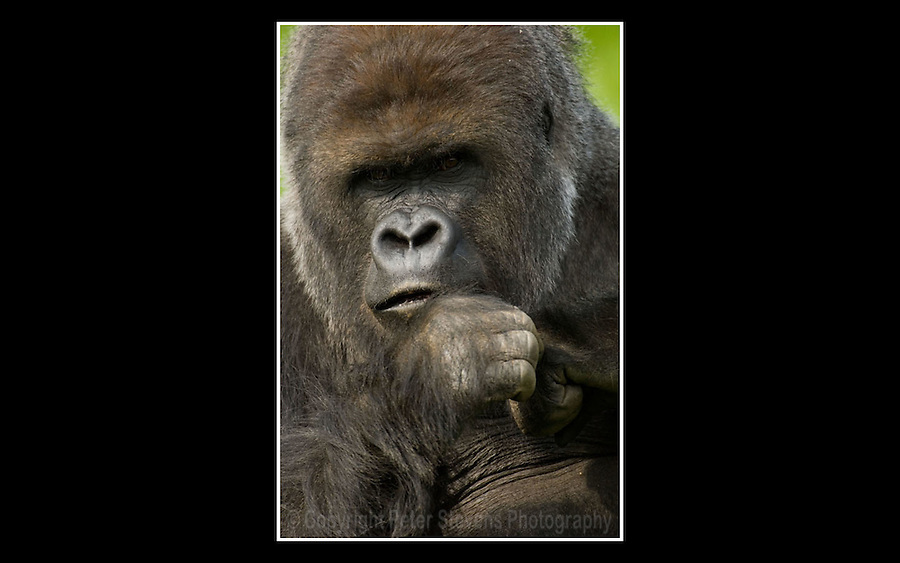 Western Lowland Gorilla (Gorilla gorilla gorilla) - Zoological Society of London - 13th April 2007