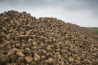 Sugar beet on a heap <br /> Picture Tim Scrivener 07850 303986<br /> &hellip;.covering agriculture in the UK&hellip;.