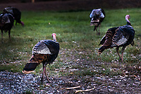 With their distinctive  dark and white feather patterns, and their red necks and heads, a pair of Wild turkeys stands out in their posse foraging in the grassy area at the Coyote Hills Regional Park Visitor Center.