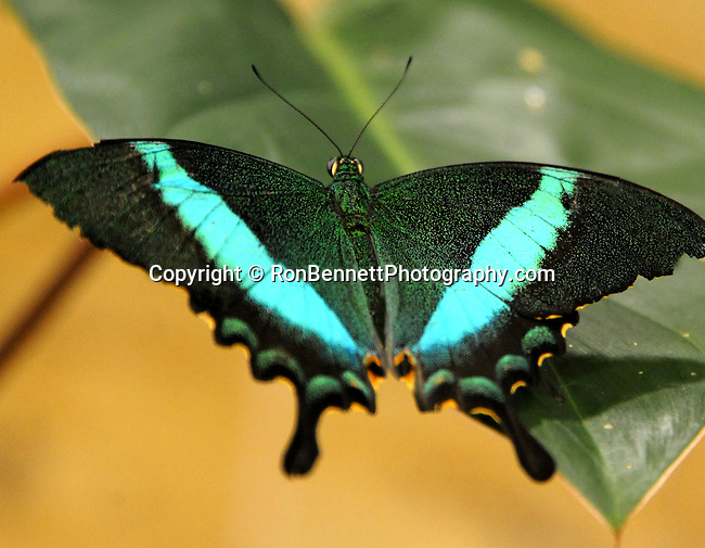 Black swallowtail butterfly with blue wings, Swallowtail butterfly, butterfly, Swallowtail butterflies are large, colorful butterflies that form the family Papilionidae there are over 550 species, Tropical, caterpillars possess a unique organ behind their heads called osmeterium, Fine Art Photography by Ron Bennett, Fine Art, Fine Art photography, Art Photography, Copyright RonBennettPhotography.com ©