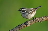 Black-throated Gray Warbler - Setophaga nigrescens - Adult female breeding