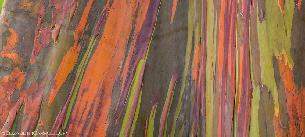Rainbow Eucalyptus III