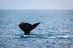 Humpback Whale's tail, Maui, Hawaii.