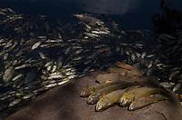 PIRACICABA, SP, 12.02.2014 - PEIXES / MORTOS / RIO PIRACICABA - Milhares de peixes foram encontrados mortos na tarde desta quarta-feira (12) no Rio Piracicaba, em Piracicaba (SP). Moradores mostraram várias espécies boiando às margens do leito. Segundo a professora de ecologia Silvia Regina Gobbo, a baixa vazão do manancial, que vive a seca mais rigorosa para o período nos últimos 50 anos, aumenta a concentração de poluentes, situação que afeta toda a vida aquática. (Foto: Mauricio Bento / Brazil Photo Press).