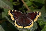Mourning Cloak, Nymphalis antiopa, Southern California