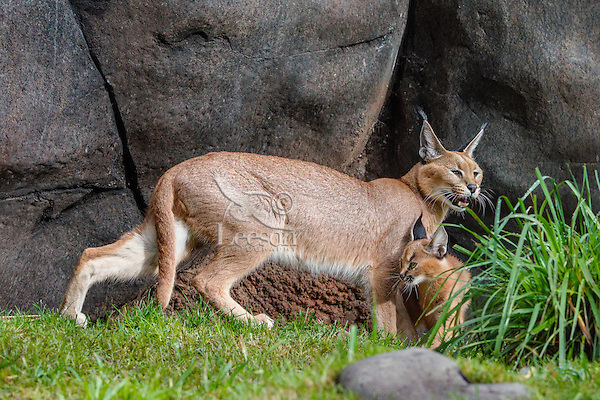 "Caracal (Caracal caracal) mom with young kitten.  The word ""Caracal"" comes from the Turkish word ""karakulak"" which means ""black ear.""  Caracals are found in Africa through Central Asia and India."