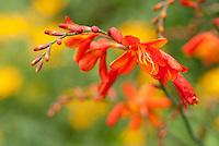 Crocosmia 'Babylon' orange montbrettia summer flowering bulb