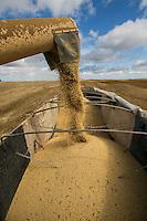 """Produção, colheita e estocagem de Soja..<br /> Paragominas, Pará, Brasil.<br /> Foto Carlos Borges<br /> <br /> A soja (Glycine max), também conhecida como feijão-soja e feijão-chinês,[1] é uma planta pertence à família Fabaceae, família esta que compreende também plantas como o feijão, a lentilha e a ervilha. É empregada na alimentação humana (sob a forma de óleo de soja, tofu, molho de soja, leite de soja, proteína de soja, soja em grão etc.) e animal (no preparo de rações). A palavra """"soja"""" vem do japonês shoyu.[2] A planta é originária da China e do Japão. É um grão rico em proteínas. Dentre os sais minerais, os mais presentes são: potássio, cálcio, magnésio, fósforo, cobre e zinco. É fonte de algumas vitaminas do complexo B, como a riboflavina e a niacina, e também em vitamina C (ácido ascórbico). Porém é pobre em vitamina A e não contém vitamina D e B12.[3]"""