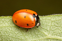 Seven-spotted Lady Beetle (Coccinella septempunctata), Ward Pound Ridge Reservation, Cross River, Westchester County, New York