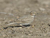 Sand Lark - Calandrella raytal Length to 13cm Rather plain lark with relatively slender bill, streaking on breast and otherwise unmarked white underparte. Primaries project beyong tertials. Found in south Asia and associated with sandy river banks and plains.