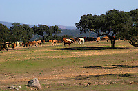 cows grazing on a field herdade de sao miguel alentejo portugal