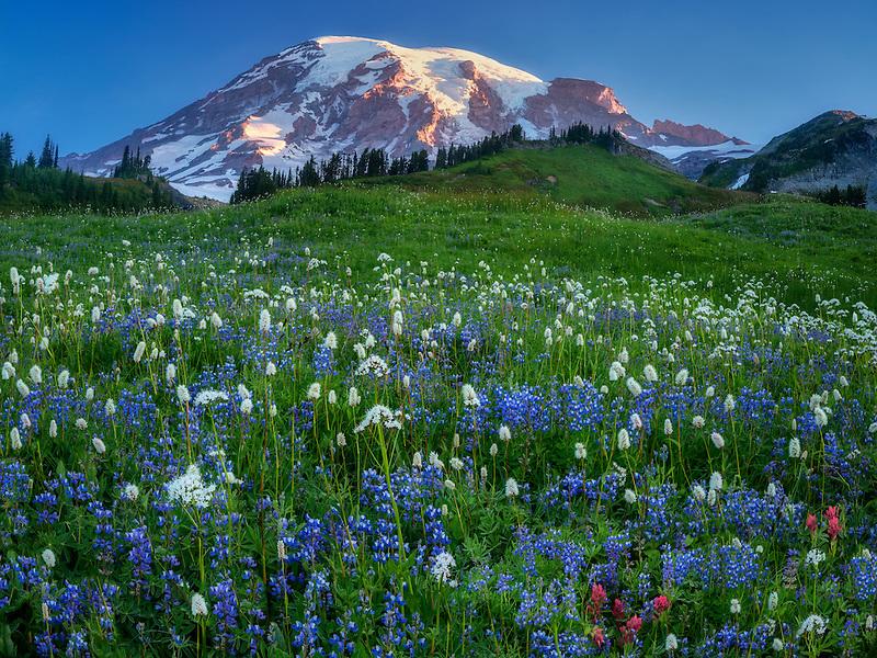 Wildflower meadow and Mt. Rainier. Mt. Rainier National Park, Washington