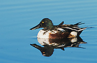 Northern Shoveler, Anas clypeata, male, Port Aransas, Texas, USA, February 2003