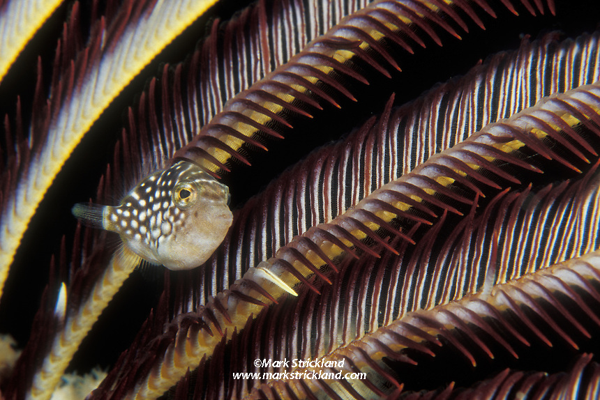 A tiny juvenile filefish, Paraluteres sp., peers from among the arms of a feather star. This species of filefish is thought to mimic the similar-looking sharpnose puffer, which is toxic. Mergui Archipelago, Myanmar, Andaman Sea