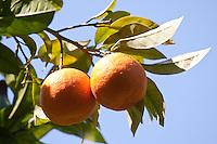 Gewöhnliche Mandarine, reife Früchte am Baum, Citrus reticulata, Common Mandarin