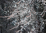 Ice forming on the tree as mixed perciptation is falling