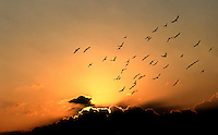 Photographer: Rick Findler..03.10.12 A flock of birds fly in front of a setting sun in the town of Antakya on the border of Turkey and Syria.