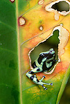 Green and black poison arrow frog, Bocas del Toro, Panama
