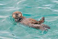 Alaskan or Northern Sea Otter (Enhydra lutris) pup