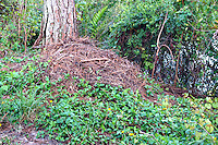 Female alligators construct a mound nest of soil, vegetation and deposit many eggs; the nests are always found near water.  The surrounding area was fenced off ( see next September picture ).