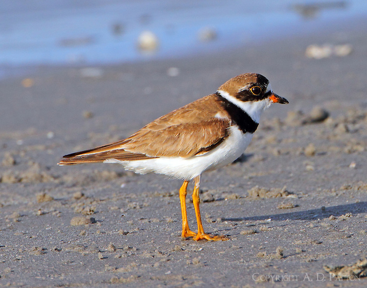 Male semipalmated plover in breeding plumage