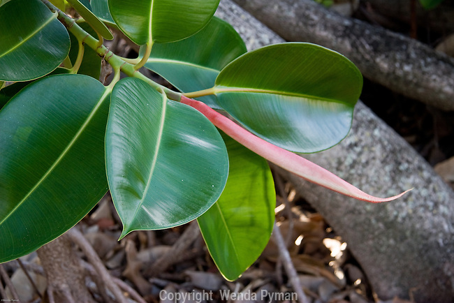 Close-up of the rubber plant.