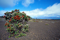 Ohia tree growing from lava cinders. Big Island, Hawaii Volcanoes National Park