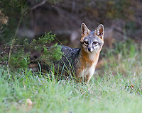 Gray Fox, Georgetown, TX