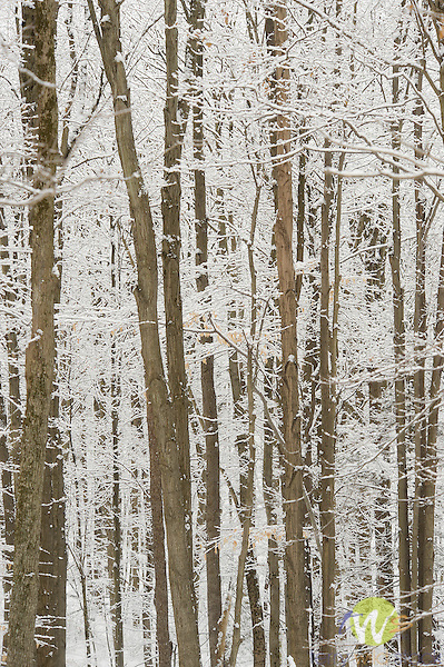 Pennsylvania woods with snow coating.